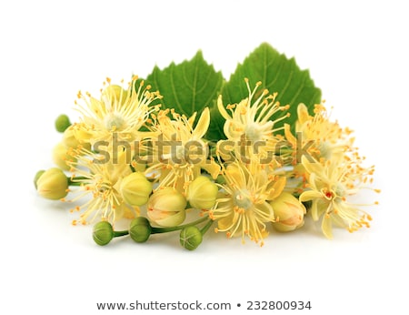 Linden flowers and linden tree Stock photo © mady70