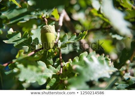 Oak tree branch acorn nut as beautiful autumn season background Stock photo © stevanovicigor