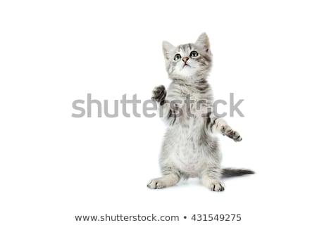 Szürke kiscica fehér kicsi izolált baba Stock fotó © artfotoss