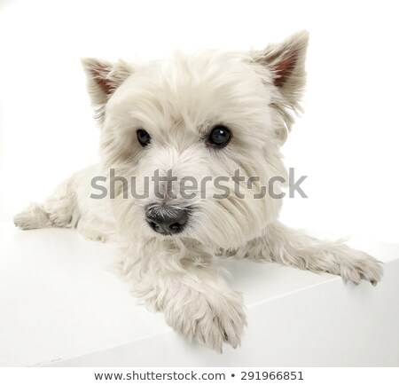 west highland white terrier relaxing in a big white cube stock photo © vauvau