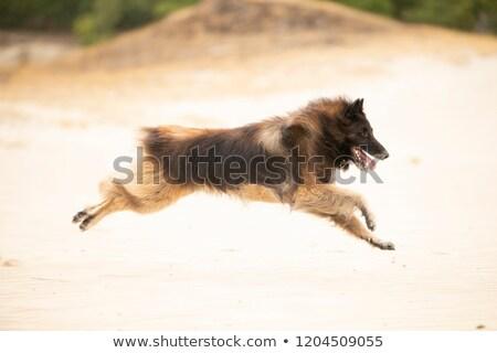 Kutya belga juhászkutya ül homok lefelé néz kék Stock fotó © AvHeertum