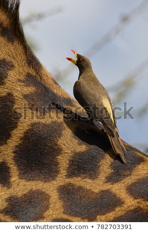Starring Buffalo with Red-billed oxpeckers. Stock photo © simoneeman
