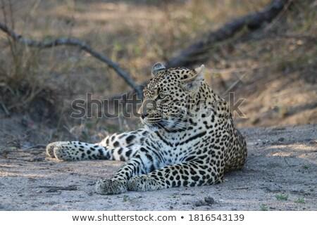 Leopar kum park Güney Afrika doğa Stok fotoğraf © simoneeman