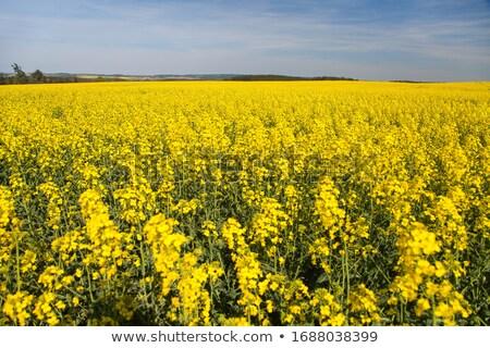 フィールド · 空 · 雲 · 花 · 春 · 太陽 - ストックフォト © nneirda