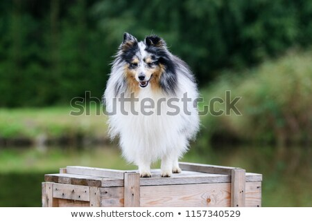 çoban köpeği ayakta ahşap kutu yalıtılmış beyaz Stok fotoğraf © AvHeertum