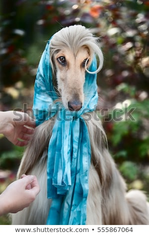 Afghan grey hound in a scarf. Stock photo © Wildstrawberry
