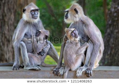 Sri · Lanka · maymun · oturma · ağaç · aile · doğa - stok fotoğraf © hofmeester