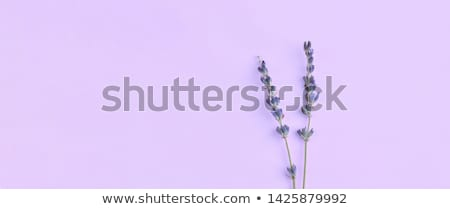 Stem of Lavendar Stock photo © naffarts