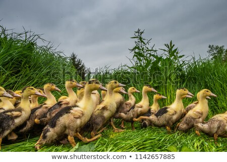 group of young yellow ducks breeding in a near tall grass stock photo © freeprod