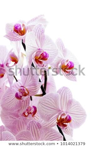 Rosa orquídeas flores tarjeta de felicitación diseno floral Foto stock © Melnyk