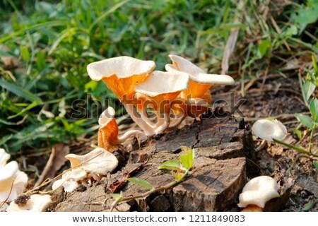 キノコ 成長 苔 オレンジ キャップ ヤマドリタケ属の食菌 ストックフォト © romvo