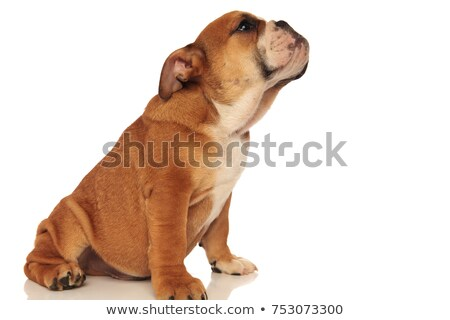 side view of seated white english bulldog looking down Stock photo © feedough