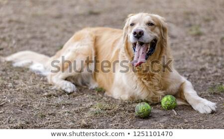 собака · привязь · теннисный · мяч · белый · теннис · мяча - Сток-фото © yhelfman