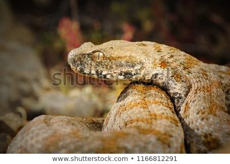 Venenoso europeu serpente ambiente close-up colorido Foto stock © taviphoto