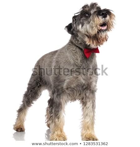 surprised schnauzer with bowtie pants and looks up to side Stock photo © feedough