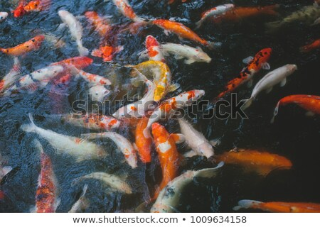 View of chinese garden pond with multicoloured carp koi fishes Stock photo © galitskaya