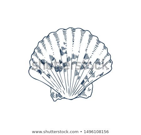 common cockle edible saltwater clam specie poster stock photo © robuart