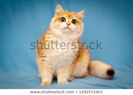 ストックフォト: 赤 · 英国の · ショートヘア · 男性 · 猫 · ハンサム