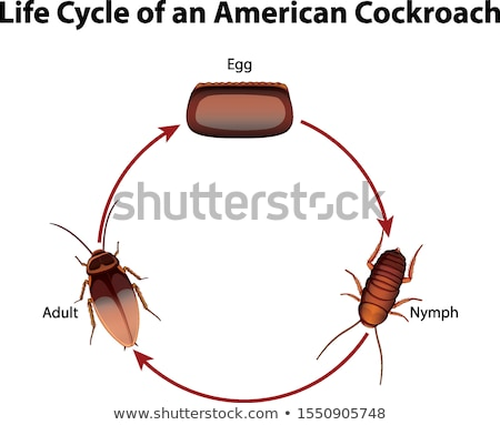 Diagram showing life cycle of cockroach Stock photo © bluering