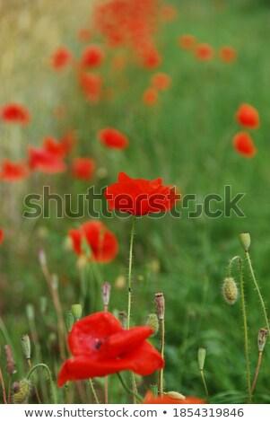 piros · pipacsok · kukoricamező · természet · kukorica · mezőgazdaság - stock fotó © fisfra