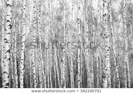 黒白 樺 木 エッジ 霧の 草原 ストックフォト © craig