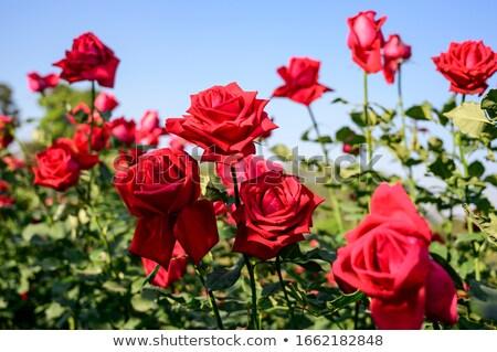 Campo rosas imagem primavera amor Foto stock © carloscastilla