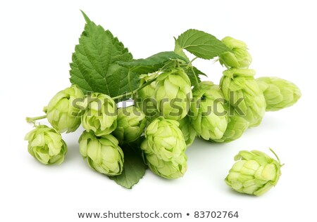 blossoming hop with leaves stock photo © masha