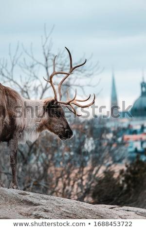 deer in the city stock photo © russwitherington