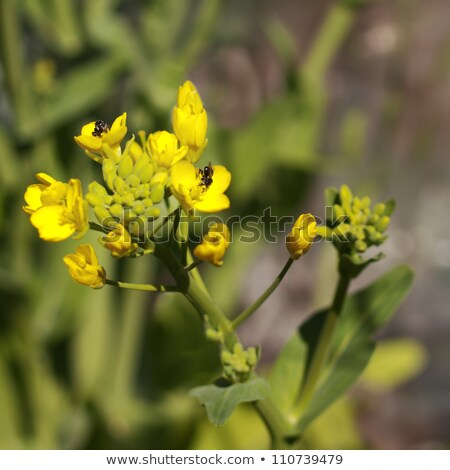 avustralya · yerli · arılar · organik · çiçek · sarı - stok fotoğraf © byjenjen