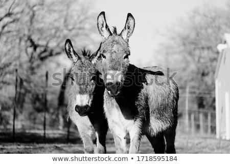 Jovem branco burro francês fazenda olhando Foto stock © smithore