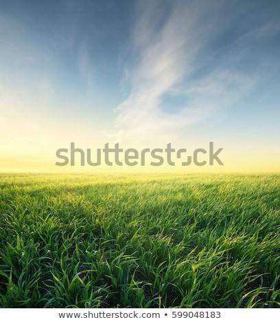 Verde cultivado campo alimentos hoja granja Foto stock © cheyennezj