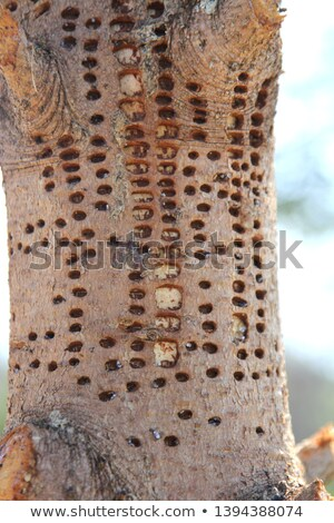 Woodpecker Damaged Tree Stock photo © 2tun