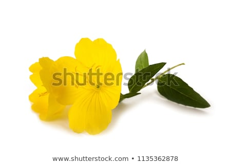 Amarelo prímula flor isolado branco fundo Foto stock © doupix