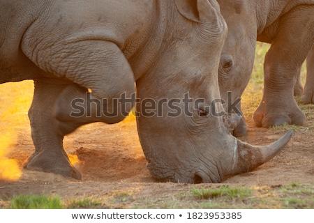 africaine · faune · coucher · du · soleil · scène · brillant · ciel - photo stock © sognolucido