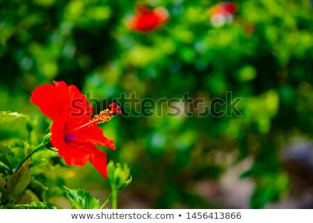 Hibiszkusz virág tavasz természet levél kert Stock fotó © LianeM