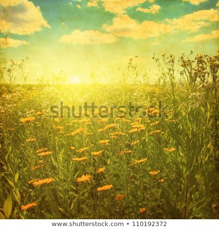 Idilli tájkép retro százszorszép szivárvány mező Stock fotó © marimorena