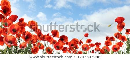 Stock fotó: Piros · pipacs · virág · virágzó · legelő · felhős