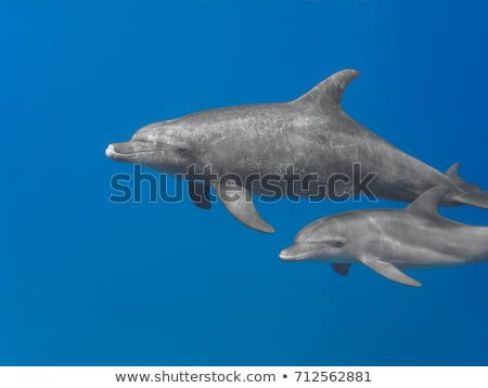 Bottlenose Dolphin (Tursiops aduncus) stock photo © dirkr