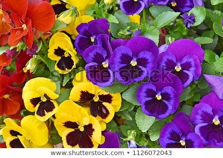 Element violet bloem blad tuin Stockfoto © tilo