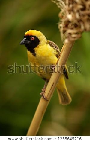 village · séance · branche · Afrique · du · Sud · oiseau · vert - photo stock © dirkr