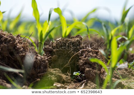 green wheat field brown soil and blue sky stock photo © kalozzolak