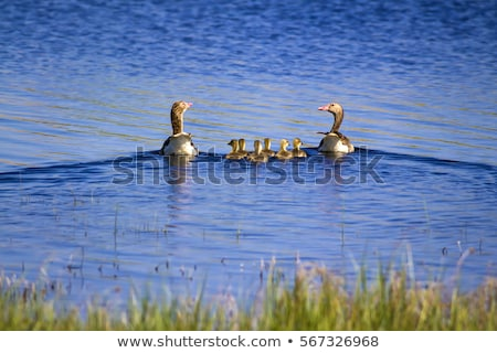 Family of greylag goose, anser anser Stock photo © Arrxxx