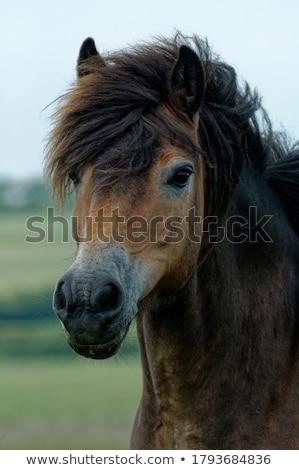 ポニー 古代 馬 風景 ストックフォト © chris2766