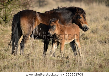 Poney rare sauvage anciens cheval Photo stock © chris2766