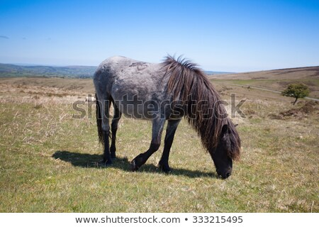 Wild Exmoor Ponies on the summer pasture,Great Britain Stock photo © CaptureLight