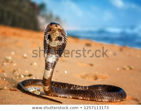 king cobra in the wild nature Stock photo © alinamd
