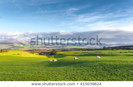 ovelha · luxuriante · grama · verde · campo · país · de · gales - foto stock © ecopic