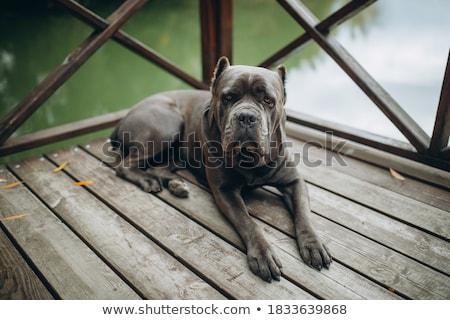 cane corso portrait in white photo studio Stock photo © vauvau