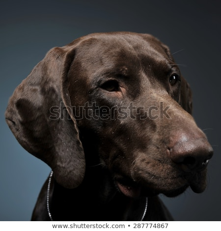 german pointer portrait in a dark photostudio stock photo © vauvau