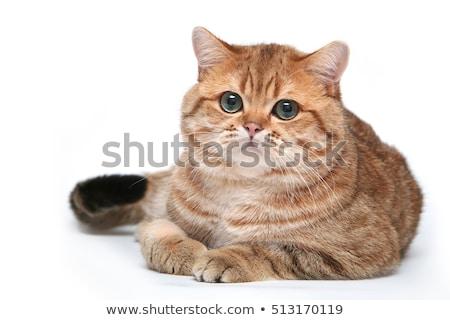 fat cat on white background stock photo © bluering